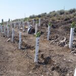 Initial start in upper vineyard