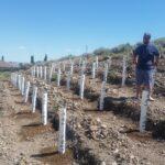 Dan surveys 1st planting in upper vineyard