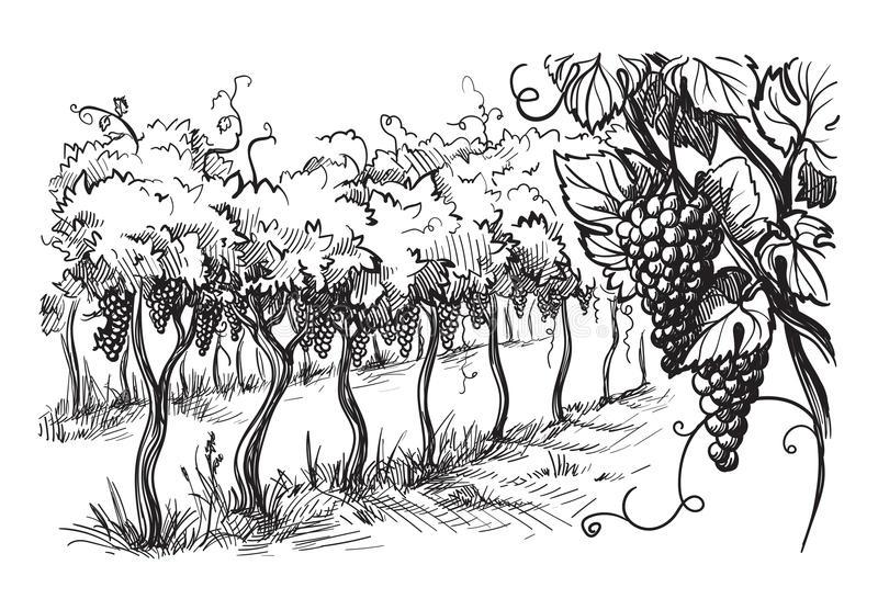 vineyard-grapes